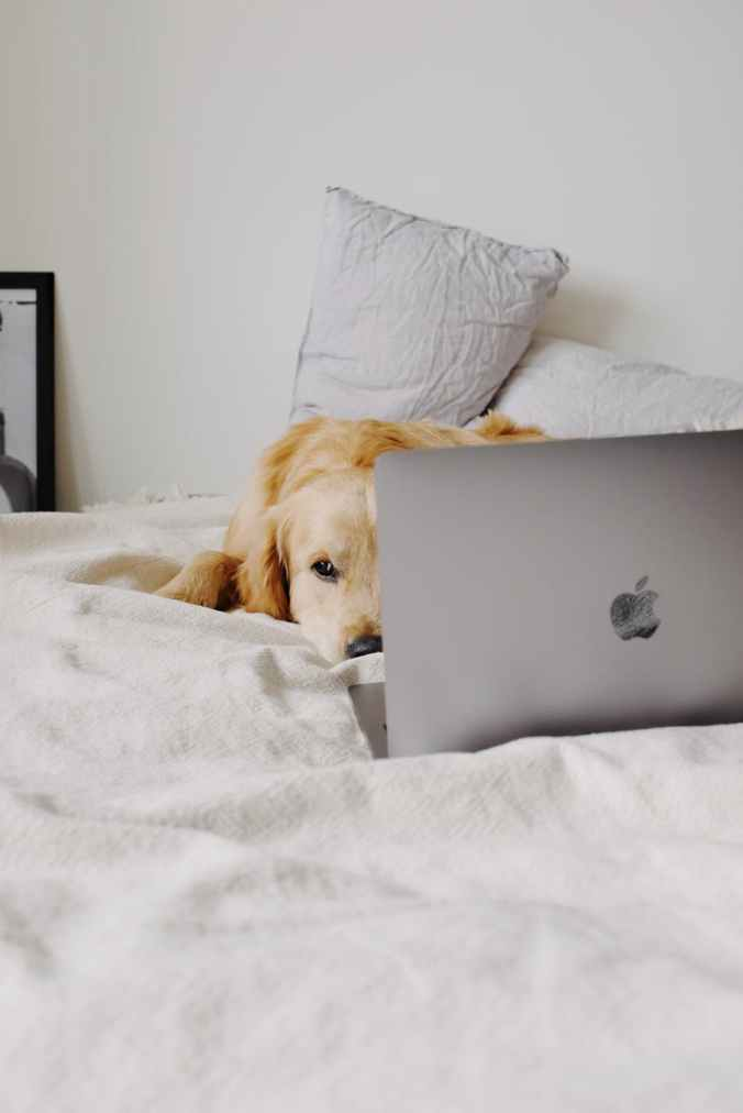 dog lying on soft bed in front of laptop